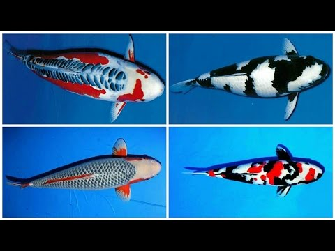 24 types and characteristics of the KOI Fish [PART 1]