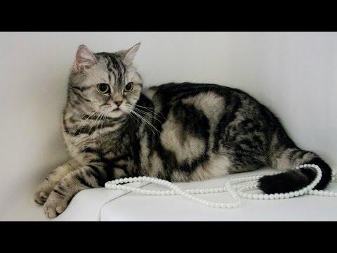 Скоттиш Страйт, Уход и содержание, Породы кошек