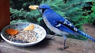 Potato Chip Blue Jays