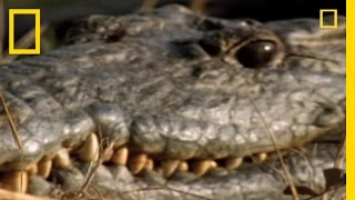 Crocodile V. Monitor Lizard