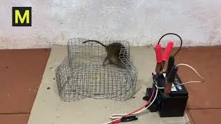 Приманки для крыс на капкан