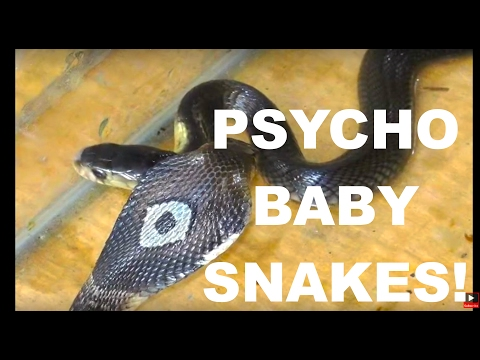 BABY SNAKES Hissing Like Psychos! 2 Thailand Cobras 🇹🇭 Thailand Living