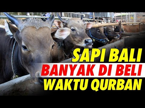 Jual Sapi Qurban Jakarta Jenis Sapi Bali 2018 #SAPIBAGUS