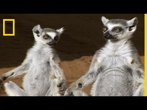 Fight d'odeurs chez les lémurs catta !