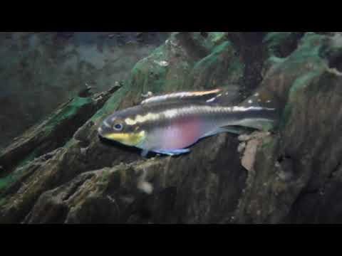Avanotti pelvicachromis pulcher 2