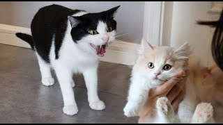 [Cat Live] First meet of New kitten Niangao and other cat brothers