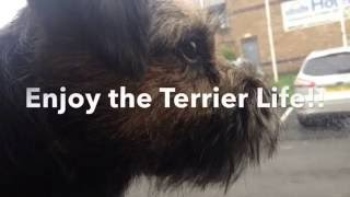 All about Border Terriers - the Good and the Bad