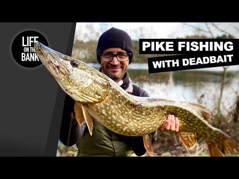 Geddefiskeri med død agnfisk på bundrig