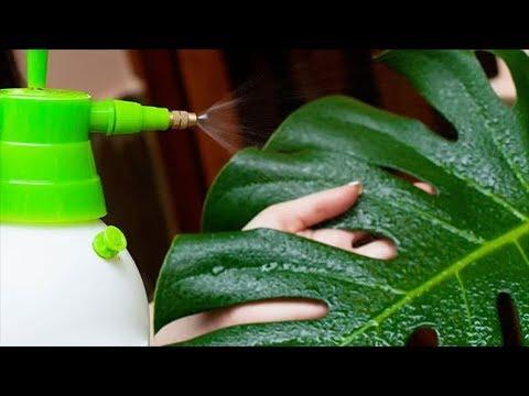 Листовая или внекорневая подкормка для комнатных растений!