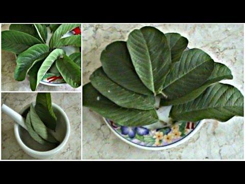 Video Obat Beser Herbal Menggunakan Ramuan Tanaman Obat Herbal Jambu Biji