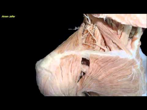 Fracture of the clavicle - applied anatomy