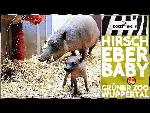 Film von Zoss.media: Hirscheber mit Nachwuchs