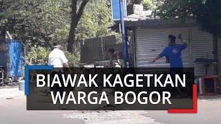Biawak Berkeliaran di Kampung Pejagalan Kota Bogor, Begini Kata Warga