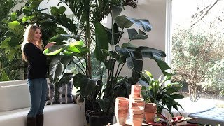 Plant Care 101:  Bird of Paradise | Strelizia Nicolai