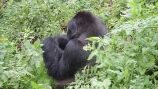 preview picture of video 'Baby and Silverback Gorillas in Volcanoes National Park, Rwanda'