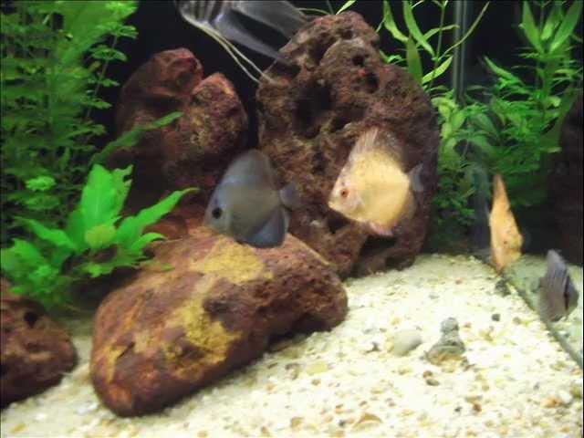Meu Aquario Plantado 324Lt com Discus, Labeo Bicolor, Botia Palhaço, Coridora e outros