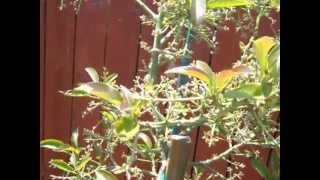 Avocado Trees and Water Needs