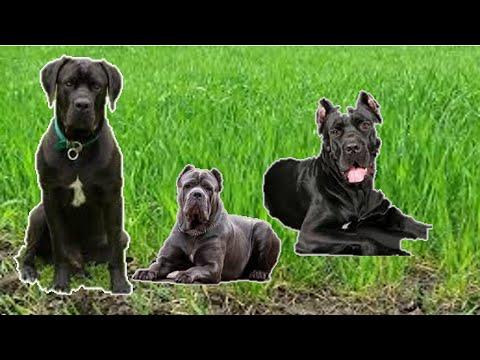 Запор у  собаки . Копроста́з (Coprostasis)