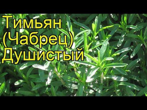 Тимьян (Чабрец) обыкновенный (Душистый). Краткий обзор, описание характеристик, где купить семена