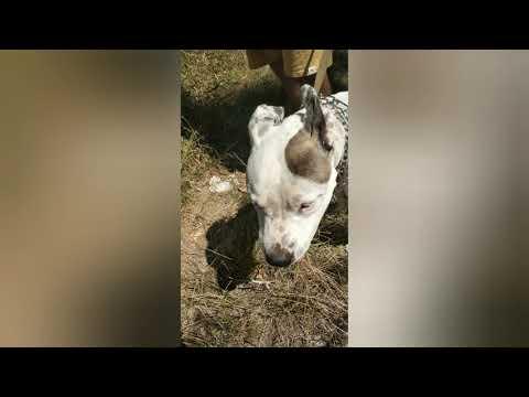 питомниковый кашель у собак, симптомы  и как лечили .