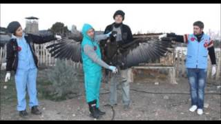 preview picture of video '(Black Vulture Bird Documentary in Turkey)Türkiyede yaşayan kara akbabalar belgeseli...'
