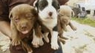 Overrun With Puppies   Pit Bulls and Parolees