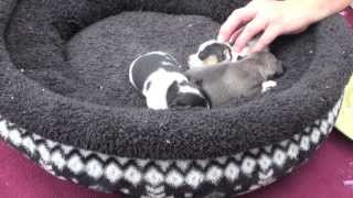 3 Week Old Chihuahuas For Sale Fredericksburg, VA