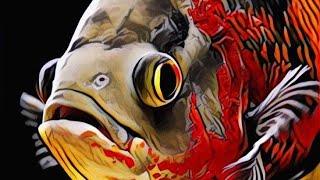 Cách nuôi cá Tai tượng châu phi - Oscar Fish