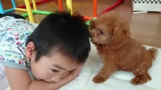 トイプードル赤ちゃん4日目一番人気めちゃかわいい🎀犬toypoodleDoggybbdognameisHimeAge3months