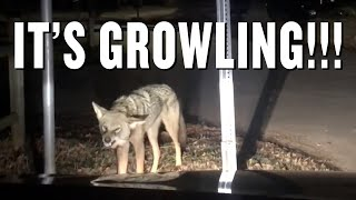 Rabid Coyote Attacks Car With Family Inside