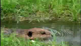 Beaver - Habitat