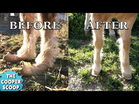 This pony was rescued from neglect. The current owner had to bring a farrier in to trim it's hooves. Huge transformation.