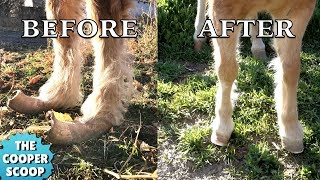 Pony With Overgrown Hooves Meets the Farrier