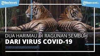 2 Harimau di Taman Margasatwa Ragunan Dinyatakan Sembuh, Sempat Terpapar Covid-19