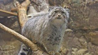 食事前のハイテンションなマヌルネコ・ユス(上野動物園)Pallas's Cat