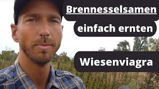 Brennesselsamen einfach ernten- das proteinreiche Superfood mit heilender Wirkung