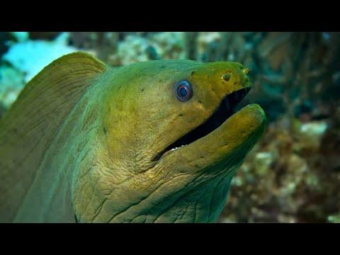 Green Moray Eel   Oceana