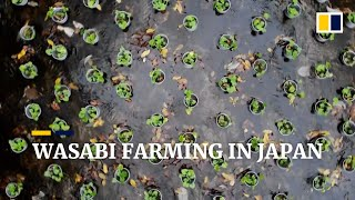 Wasabi, Japan's 'green gold': are you eating the real thing?