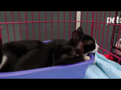'Seed Kittens' | Sesame & Chia, an adopted Domestic Short Hair & Tuxedo Mix in New York, NY