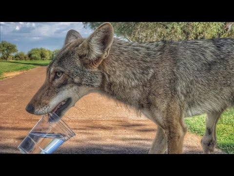 Golfers Help Thirsty Coyote During Rare Encounter On Arizona Course