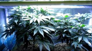 Tips For Cutting Cannabis Clones!