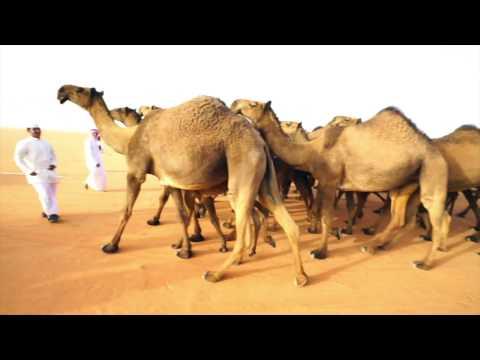 World's Largest Camel Festival - In Saudi Arabia