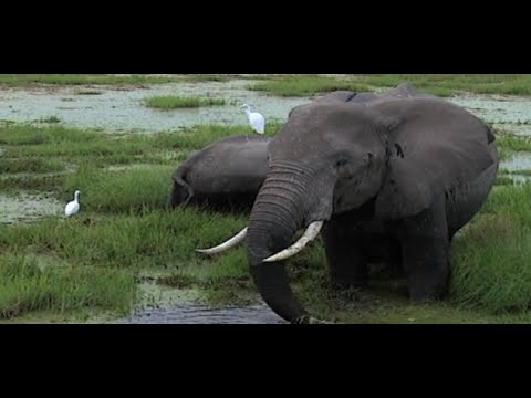 The magical Amboseli Elephants #NTVWild