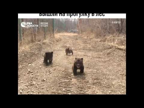 Трое медвежат в Приморье впервые вышли погулять на опушке в лесу