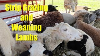Strip Grazing And Weaning Lambs