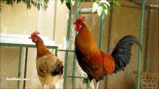 صوت صياح الديك   Rooster Crowing