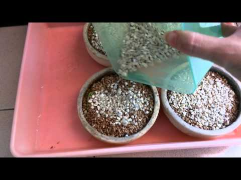 Video Menanam Rumput Gandum (Wheatgrass) scr Hidroponik