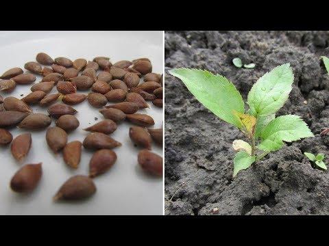 Выращивание сеянцев яблони - мой опыт. Результат 2018 года