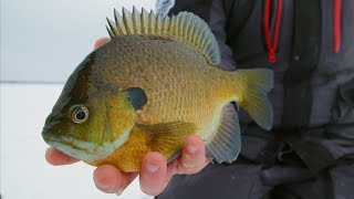 Ice Fishing For Clear Water Bluegills With Big Jigging Spoons   S14 E15