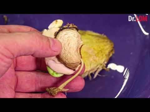 ОСОБЫЙ способ Как вырастить Манго из косточки в Домашних Условиях без плесени и грибков